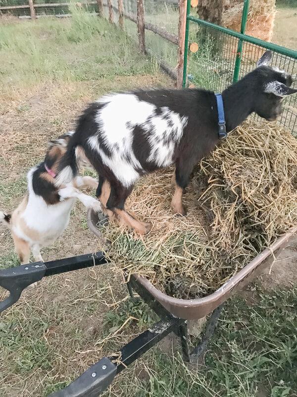 My cute Nigerian Dawrf goats!