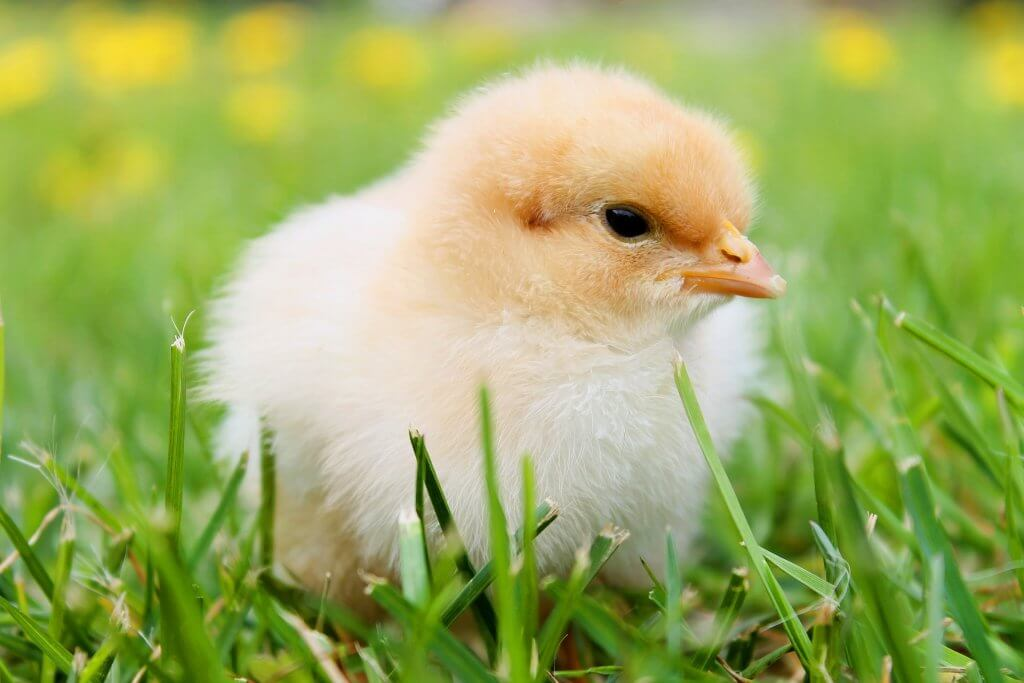 Want to get baby chicks? Read this! Learn how to raise baby chicks and get everything you need to know about them and how to care for them.