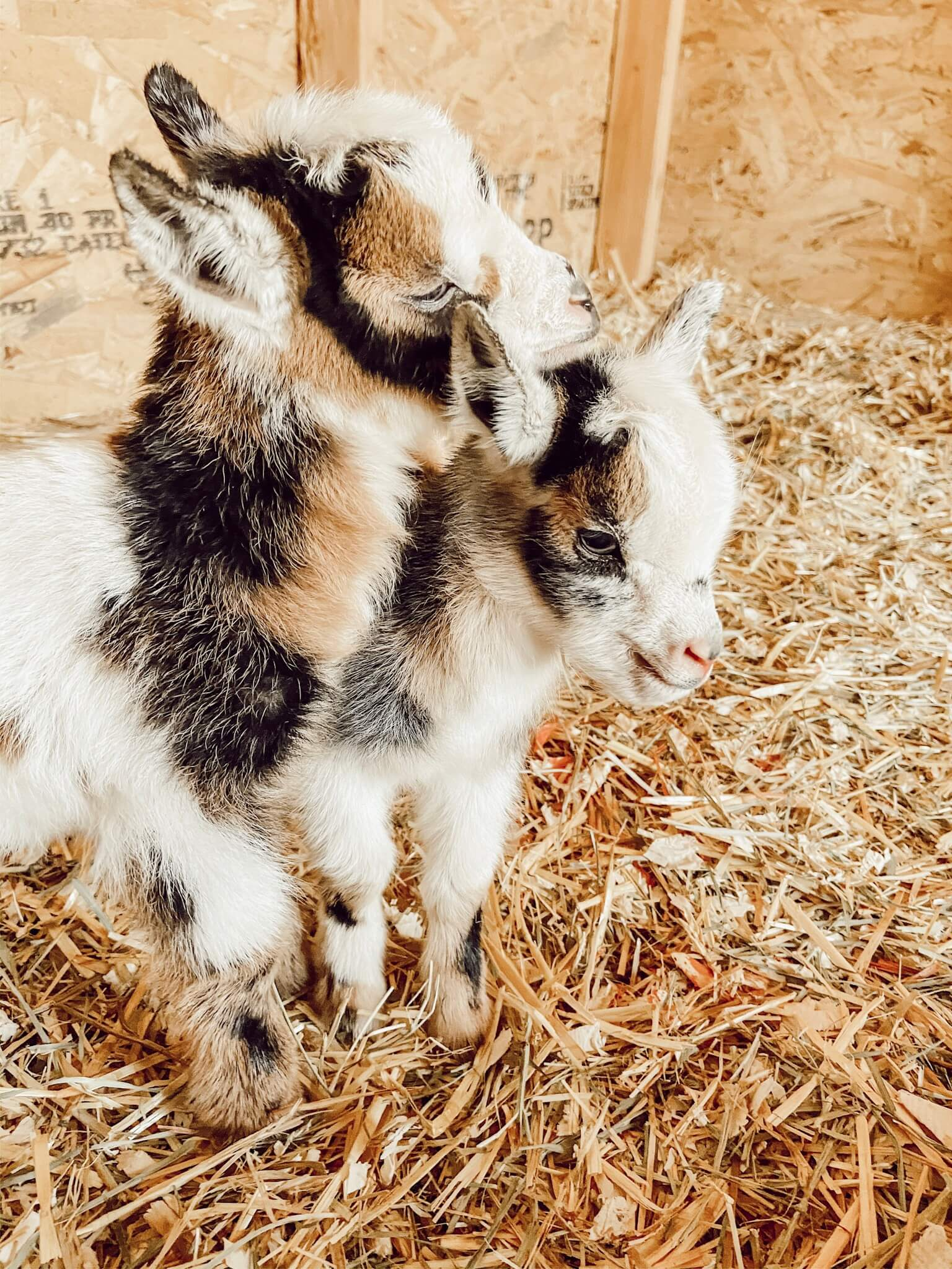 Our Nigerian Dwarf Baby Goats – A Glimmer of Hope on the Farm