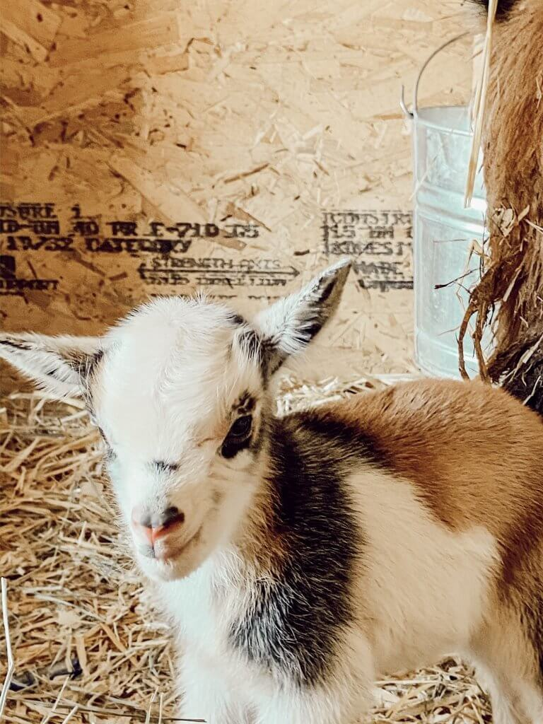 Nigerian dwarf baby goats are the bright spot on our farm.  Come have a look and enjoy our glimmer of hope.